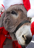 Donkey With Christmas Hat. A miniature Jerusalem donkey dressed in Christmas decor stock photos