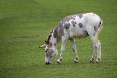 Donkey in a clearing royalty free stock image