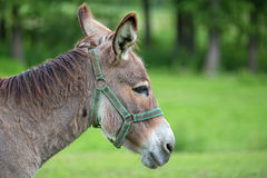 Donkey in a clearing, a portrait Royalty Free Stock Images