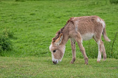 Donkey in a clearing Stock Photos
