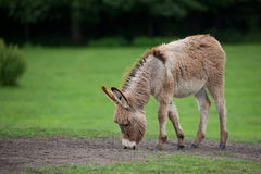 Donkey in a clearing. In the wild royalty free stock photography