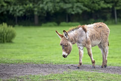 Donkey in a clearing Royalty Free Stock Images