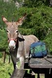 Donkey close up Royalty Free Stock Image