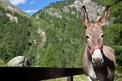 Donkey close up Royalty Free Stock Photos