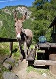 Donkey close up Stock Photo