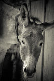 Donkey. Close-up, black and white Royalty Free Stock Photo