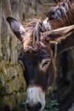 Donkey. Close-up, on a farmn Royalty Free Stock Photo
