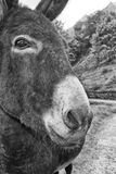 Donkey close up portrait Royalty Free Stock Image