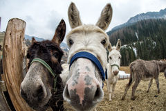 Donkey close up portrait looking at you Royalty Free Stock Photography
