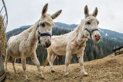 Donkey close up portrait looking at you Royalty Free Stock Images