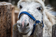 Donkey close up portrait looking at you Stock Images