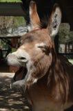 Donkey Closeup Stock Photography