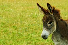 Donkey CloseUp with Copy Space Royalty Free Stock Photos