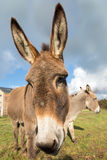 Donkey closeup Royalty Free Stock Images