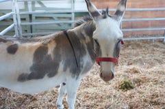 Donkey closeup. Closeup of donkey at 2015 Fall Fair, Salt Spring Island, BC, Canada Stock Image