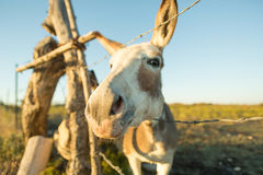 Miniature donkey closeup - fisheye effect Stock Photo