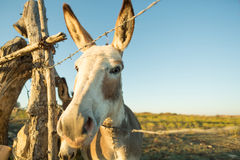 Donkey closeup - fisheye effect Stock Image