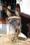 Donkey with a colorful headstall. Portrait of a brown donkey with colorful headstall Royalty Free Stock Images