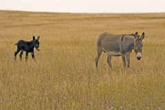 Donkey and colt. On the Alberta prairie Royalty Free Stock Image