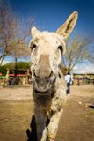Donkey coming at me with a soft smile in its face stock photos