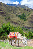 Donkey in the Cordillera Blanca in Peru Royalty Free Stock Photography