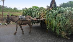 Donkey and the Corn. Donkey pulling cart full of corn along the road Royalty Free Stock Photography