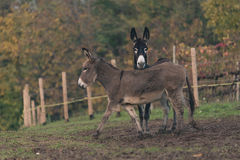 Donkey countrylife Stock Photos