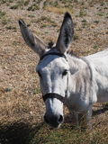 Donkey in the countryside. Of Croatia Royalty Free Stock Images