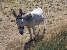 Donkey in the countryside. Of Croatia Royalty Free Stock Photo