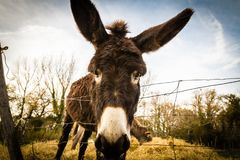 Donkey in the countryside. A cute donkey on a farm in Tuscany Stock Images