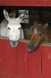 Donkey Couple. Two donkeys in a red barn royalty free stock photos