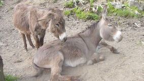 Donkey couple. Two caring donkeys showing true friendship stock video footage