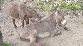 Donkey couple stock video footage
