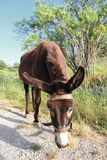 Donkey in Crete Royalty Free Stock Photo