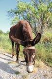 Donkey in Crete Royalty Free Stock Photo