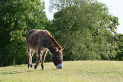 Donkey cropping grass in the sunshine Stock Photos