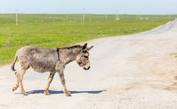 The donkey crosses the road Royalty Free Stock Image