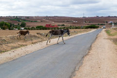 Donkey mother and her small colt crossing the road Stock Photos