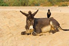 Donkey and crow Royalty Free Stock Photo