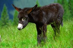 Donkey cub Royalty Free Stock Photos