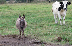 Donkey and Dairy Cow. Miniature donkey standing with cow in pasture Royalty Free Stock Image