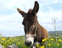 Donkey and daisies. Portrait of the donkey in the flowery meadow Stock Photo