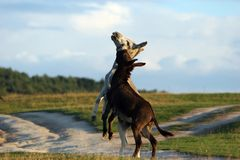 Donkey dance. Two donkeys playing together royalty free stock photos