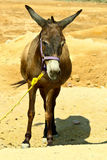 Donkey in the desert Royalty Free Stock Photography
