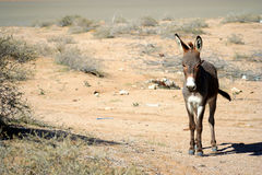 Donkey on a desert Royalty Free Stock Photography