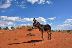 Donkey in desert Royalty Free Stock Photos