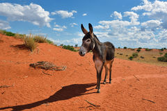 Donkey in desert Stock Photo