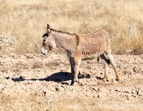 Donkey in the desert on the nature.  Stock Photo