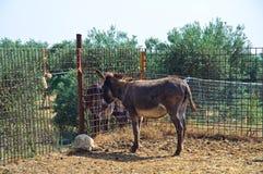 Donkey. Detail of a single donkey Royalty Free Stock Photo