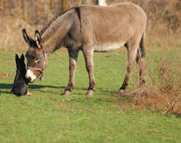 Donkey and dog Stock Image